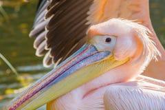 Pink pelican portrait close up - Pelecanus onocrotalus stock image