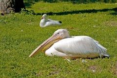 Pink Pelican Stock Photos