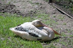 Pink Pelican resting lying on the ground Royalty Free Stock Images