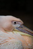 Pink Pelican, resting in the shade Stock Image