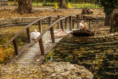 Pink Pelican resting on a wooden bridge across the lake in the a Royalty Free Stock Images