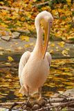Pink pelican sitting on log Royalty Free Stock Photos