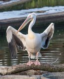 Pink Pelican in the wild. Disappearing species of feathered anim Royalty Free Stock Photography