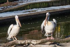 Pink Pelican in the wild. Disappearing species of feathered anim Stock Photography