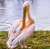 Pink Pelican Royalty Free Stock Photography