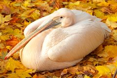 Pink pelican on yellow leaves. Pink pelican lying on yellow autumn leaves Stock Images