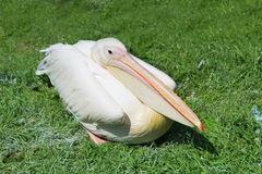 Pink pelican Royalty Free Stock Images