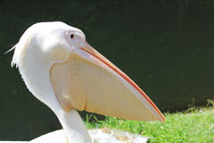 Pink pelican Royalty Free Stock Image