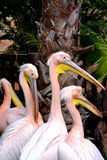 Pink pelicans Royalty Free Stock Photo