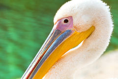 Free Pink Pelicans Stock Photo - 24099790