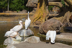 Pink pelicans Stock Images