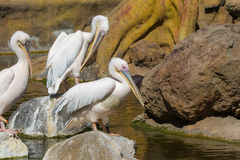 Pink pelicans Royalty Free Stock Photos