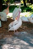 Pink pelicans are  in the shade of trees in the zoo royalty free stock photos