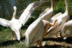 Pink pelicans. Royalty Free Stock Photos
