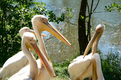 Pink pelicans. Stock Images
