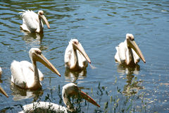 Pink pelicans. Royalty Free Stock Photo