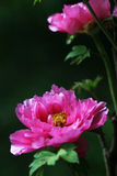 Pink penoy with black background. In park Royalty Free Stock Photo