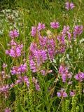 Pink Penstemons in Meadow Stock Photo