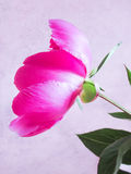 Pink peon flower on a grange blue background Royalty Free Stock Images