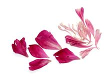 Pink peon petals scattered on the table. On white Royalty Free Stock Image