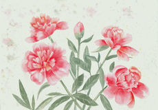 Pink peonies stock images