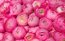 Free Pink Peonies Royalty Free Stock Photography - 39024167