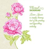 Pink peonies background with sample text Stock Photos