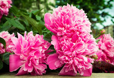 Pink peonies. Big pink peonies are outdoors Royalty Free Stock Photo