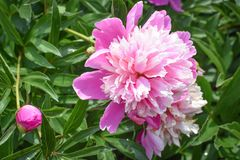 Pink Peonies in Bloom with a Bud stock photo