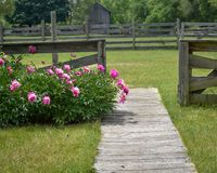 Pink Peonies blooming by Wooden Fence Stock Image
