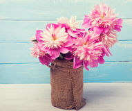Pink peonies on the blue colored wooden background Stock Photos