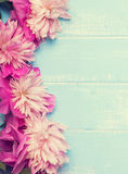 Pink peonies on the blue colored wooden background Royalty Free Stock Photo