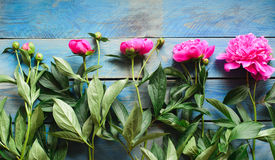 Pink peonies on a blue table Stock Images