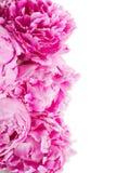 Pink   peonies border Royalty Free Stock Photos