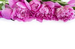 Pink peonies at border of image with copy space for text. Top view. Peonnies on a white background Stock Image