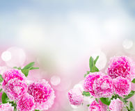 Pink   peonies border Stock Images