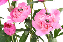 Pink peonies and bugs. Pink June peonies and a green bugs. Isolated on white stock photography