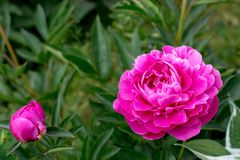 Pink peonies Royalty Free Stock Photography