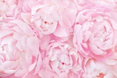 Pink peonies flowers festive background royalty free stock image