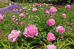 Pink peonies flowers Royalty Free Stock Images