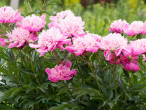Pink peonies flowers in the garden Royalty Free Stock Image
