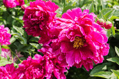 Pink peonies flowers in the garden Stock Photography