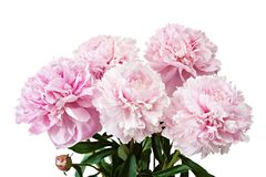 Pink peonies flowers isolated. Pink peonies flowers isolated on white background Royalty Free Stock Photo