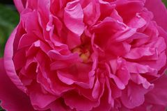 Pink peonies fully blossomed in close-up view. With a look on the pollen inside royalty free stock images