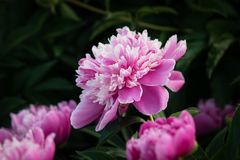 Pink peonies in the garden Royalty Free Stock Photos