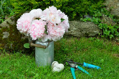 Pink peonies in the garden Stock Images