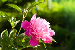 Pink peonies in the garden. Pink peony macro photo. Burgundy peony flower. Closeup of pink peonies in the garden red peony macro burgundy peony flower royalty free stock photos