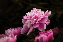 Pink peonies in the garden Stock Photos