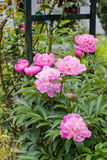Pink peonies in the garden Stock Photos