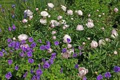 Pink peonies and geranium ibericum flowers Royalty Free Stock Photos